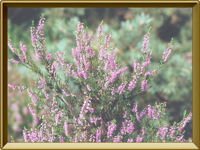 Вереск — растение, фото в рамке №2