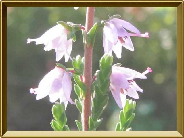 Вереск — растение, фото в рамке №3