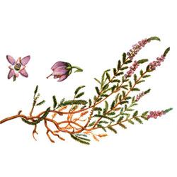Вереск — растение, картинка цветная