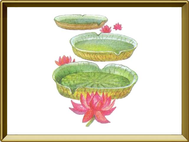 Виктория — растение, фото в рамке №1