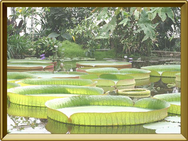 Виктория — растение, фото в рамке №2