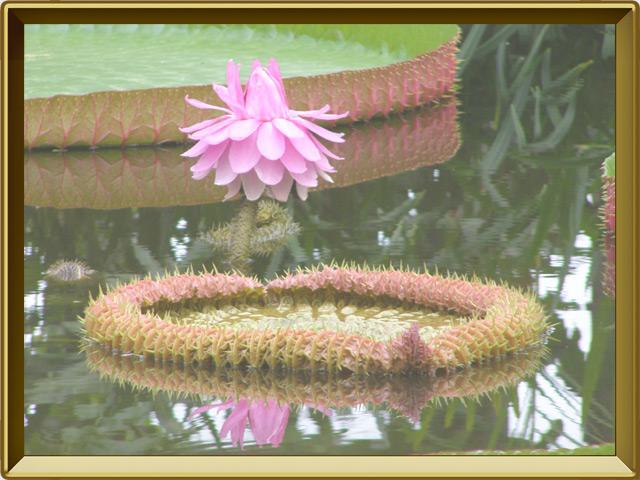 Виктория — растение, фото в рамке №3