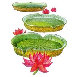 Виктория — растение, картинка цветная