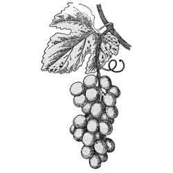 Виноград — растение, картинка чёрно-белая