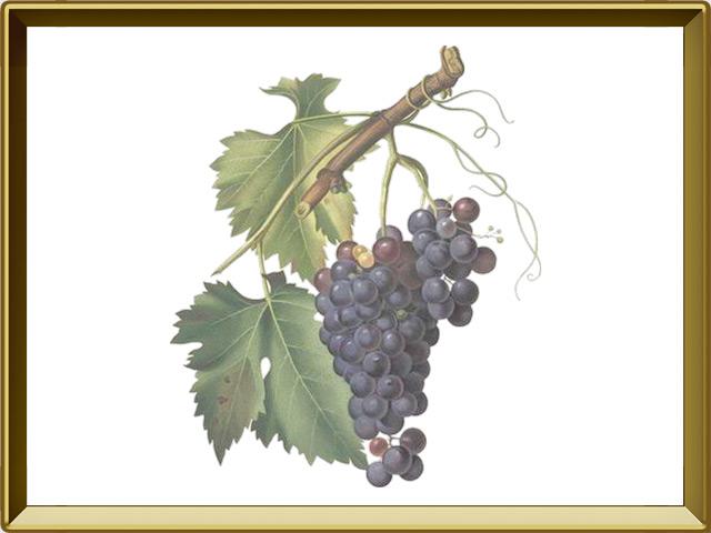 Виноград — растение, фото в рамке №1