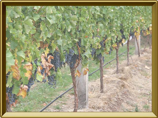 Виноград — растение, фото в рамке №2