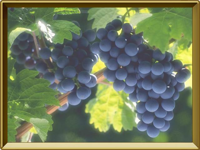 Виноград — растение, фото в рамке №3