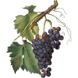 Виноград — растение, картинка цветная