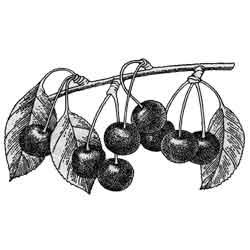 Вишня — растение, картинка чёрно-белая