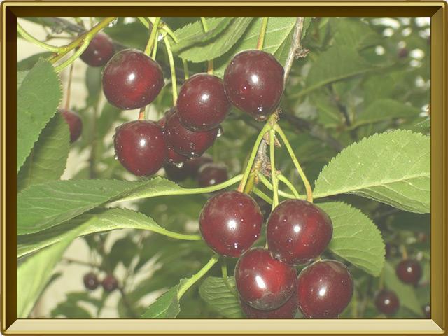Вишня — растение, фото в рамке №3