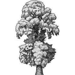 Вяз — растение, картинка чёрно-белая