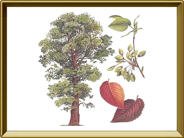 Вяз — растение, фото в рамке №1