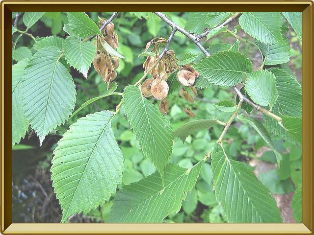 Вяз — растение, фото в рамке №3