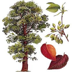 Вяз — растение, картинка цветная