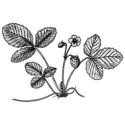 Земляника — растение, картинка чёрно-белая