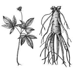 Женьшень — растение, картинка чёрно-белая