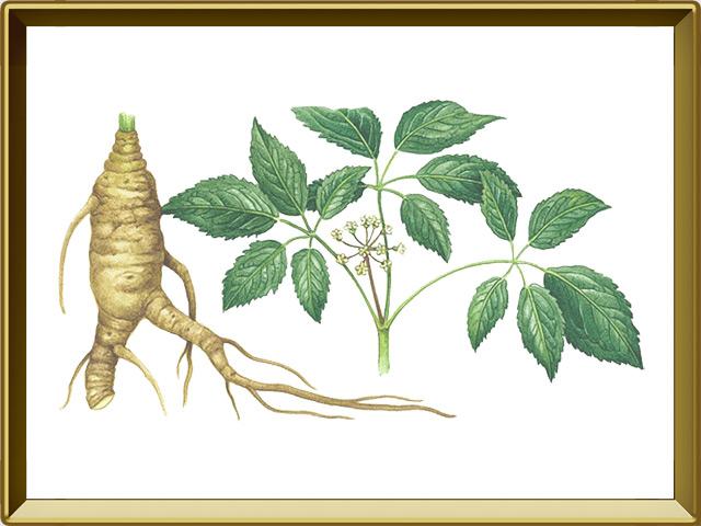 Женьшень — растение, фото в рамке №1