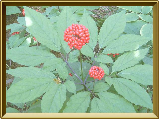 Женьшень — растение, фото в рамке №2