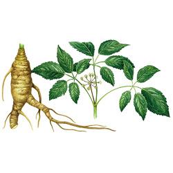 Женьшень — растение, картинка цветная