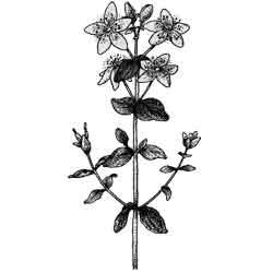 Зверобой — растение, картинка чёрно-белая