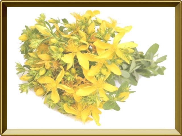 Зверобой — растение, фото в рамке №1