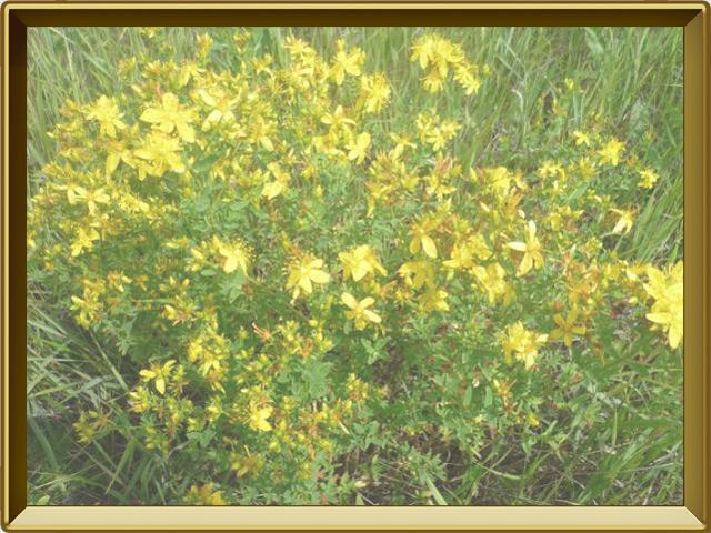Зверобой — растение, фото в рамке №2