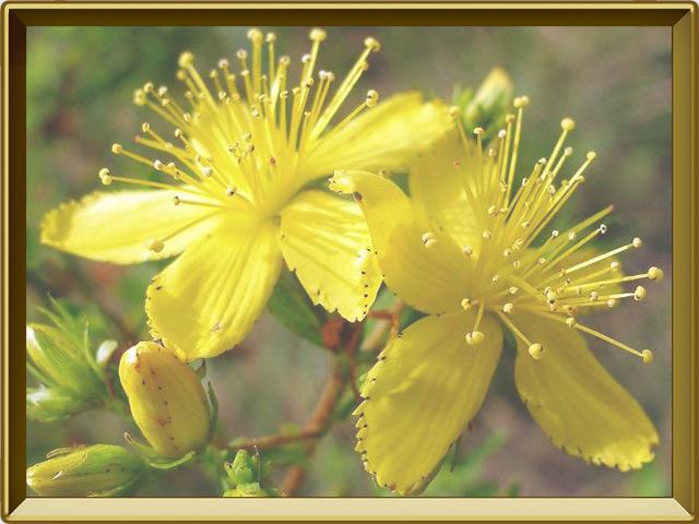 Зверобой — растение, фото в рамке №3