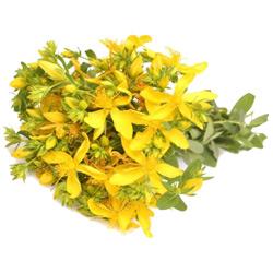 Зверобой — растение, картинка цветная