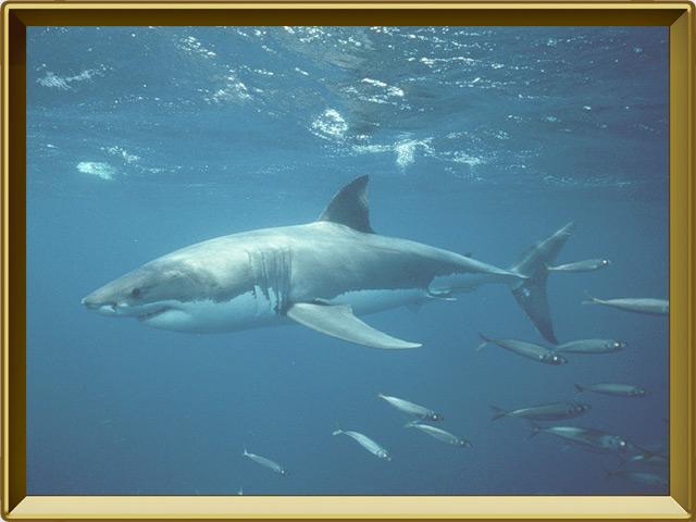 Акула — рыба, фото в рамке №2