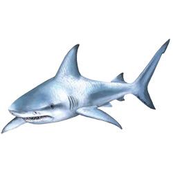 Акула — рыба, картинка цветная