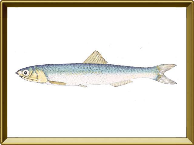 Анчоус — рыба, фото в рамке №1