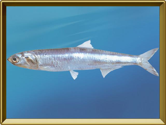 Анчоус — рыба, фото в рамке №2