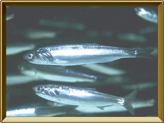 Анчоус — рыба, фото в рамке №3