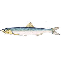 Анчоус — рыба, картинка цветная