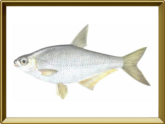 Белоглазка — рыба, фото в рамке №1