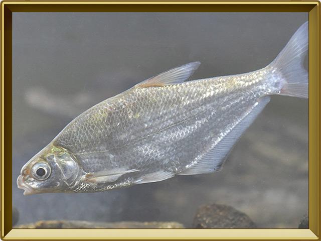 Белоглазка — рыба, фото в рамке №2