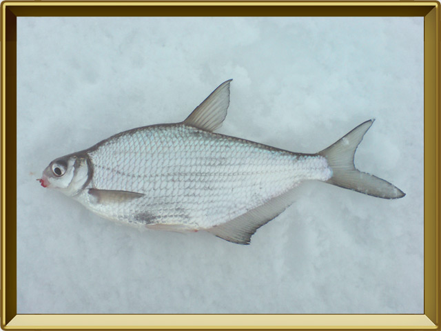 Белоглазка — рыба, фото в рамке №3