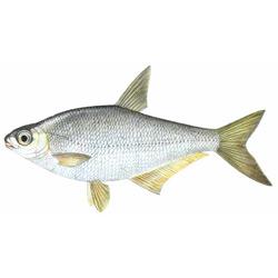 Белоглазка — рыба, картинка цветная