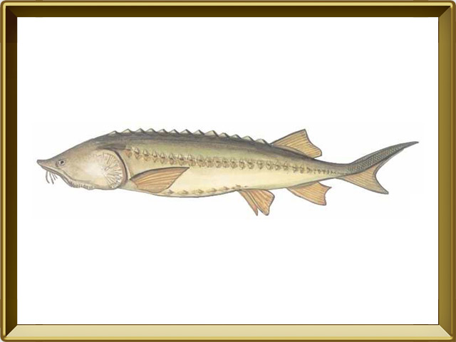Белуга — рыба, фото в рамке №1