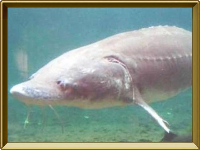 Белуга — рыба, фото в рамке №2