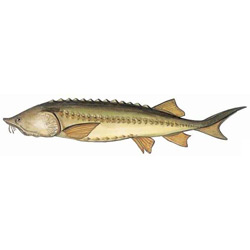 Белуга — рыба, картинка цветная