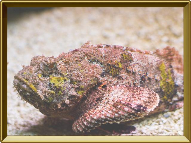 Бородавчатка — рыба, фото в рамке №2