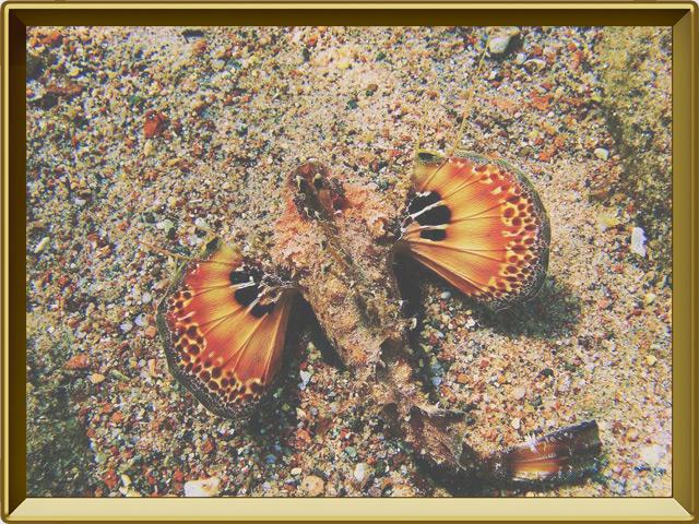 Бородавчатка — рыба, фото в рамке №3