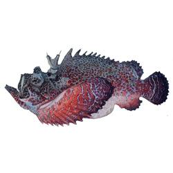 Бородавчатка — рыба, картинка цветная