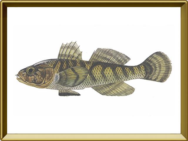 Бычок-цуцик — рыба, фото в рамке №1