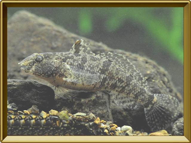 Бычок-цуцик — рыба, фото в рамке №2