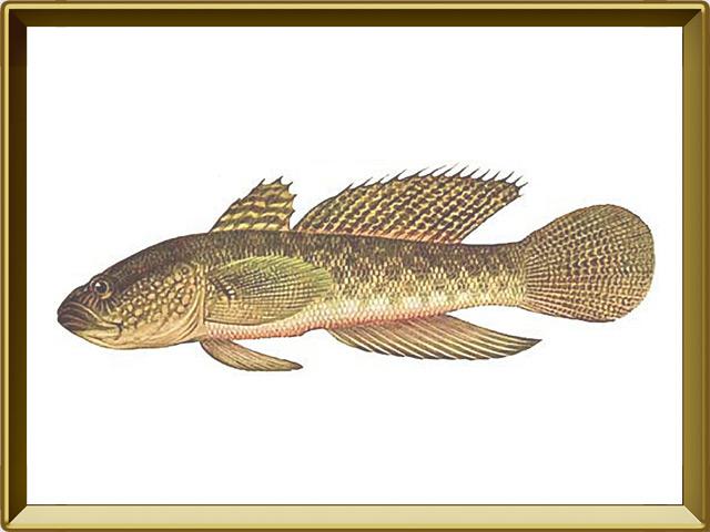 Бычок-кругляк — рыба, фото в рамке №1