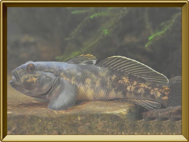 Бычок-кругляк — рыба, фото в рамке №2