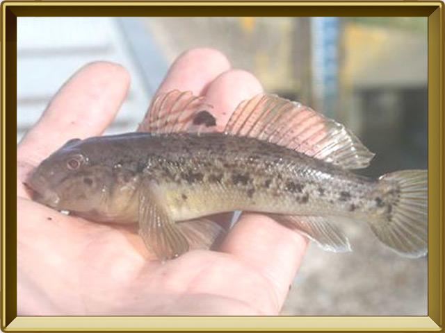 Бычок-кругляк — рыба, фото в рамке №3
