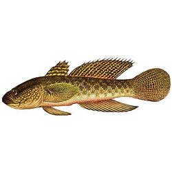 Бычок-кругляк — рыба, картинка цветная